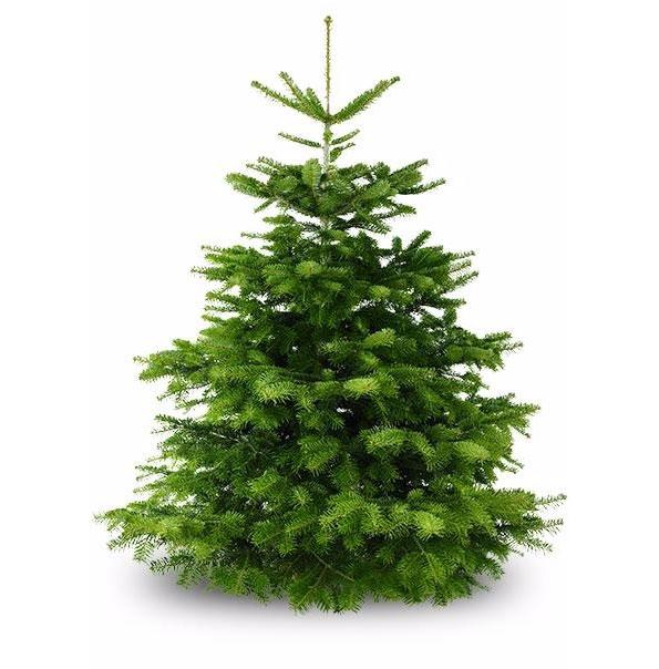 Wann Weihnachtsbaum Kaufen.Nordmanntanne 175 Cm