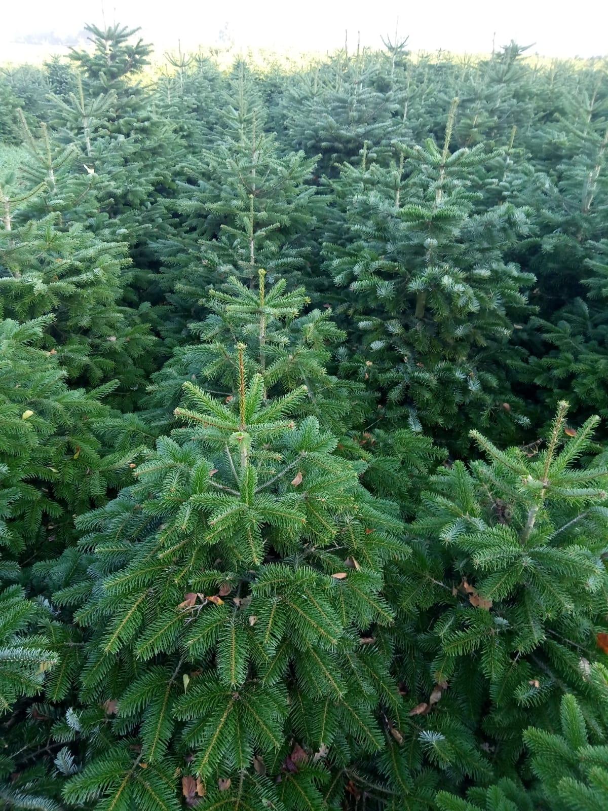 weihnachtsbaum online kaufen weihnachtsbaum online versand. Black Bedroom Furniture Sets. Home Design Ideas