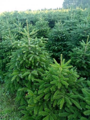 Weihnachtsbaum Nordmanntanne